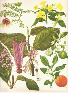 Vintage Botanical Print 1970 Art Wild Flowers Original Book PLATE 119 Beautiful Seville Orange Green Lime Pink Yellow Flowers Tropical Fruit.