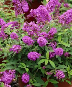 Buzz Magenta Improved Butterfly Bush