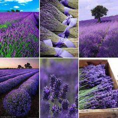 Lavender fields and lavender harvest.