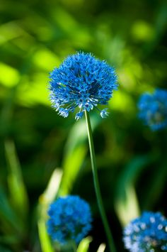 HAVE A NICE DAY — prettylittleflower: blue allium (by...