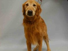 SUPER URGENT Manhattan Center MAX – A1052528 MALE, RED, GOLDEN RETR, 9 yrs OWNER SUR – EVALUATE, NO HOLD Reason NO TIME Intake condition EXAM REQ Intake Date 09/23/2015