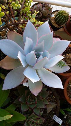Cacti And Succulents, Planting Succulents, Cactus Plants, Garden Plants, House Plants, Echeveria, Large Flower Pots, My Flower, Flowers