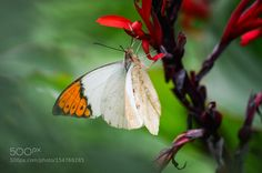 Butterfly by BridgetYang #animals #animal #pet #pets #animales #animallovers #photooftheday #amazing #picoftheday