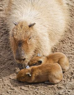 Capybara with two Babies by Justin Kane, via Flickr