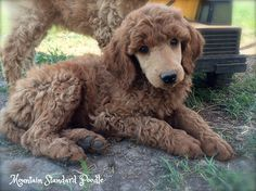 standard poodle puppy 7 weeks old