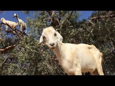 Video: Watch Some Moroccan Goats, Straight Chillin' in a Tree - http://modernfarmer.com/2015/09/video-goats-in-trees-morocco/?utm_source=PN&utm_medium=Pinterest&utm_campaign=SNAP%2Bfrom%2BModern+Farmer