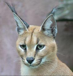 Vous allez sans aucun doute craquer devant le caracal, ce superbe chat sauvage, probablement le plus beau du monde