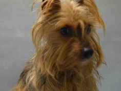 SUPER URGENT Brooklyn Center MARTINI – A1101614  FEMALE, BROWN / BLACK, YORKSHIRE TERR MIX, 8 yrs STRAY – STRAY WAIT, NO HOLD Reason STRAY Intake condition UNSPECIFIE Intake Date 01/15/2017, From NY 11212, DueOut Date 01/18/2017,