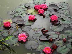 Utopia, waterlelie (Nymphaea 'James Brydon'), 50-80 cm diep, doorsnede bloem: 12-14 cm, doorsnede blad: 20 cm.