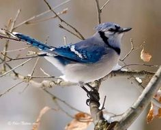 13 Best Oklahoma Birds images   Birds, Beautiful birds ...