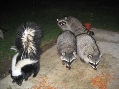 Raccoons_&_skunk_eating together! This happened a lot out back of my house!The skunk would scoot the raccoon over with his butt! So cute.