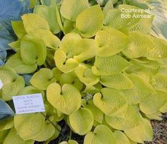 Hosta 'Little Aurora' | Hostas Direct