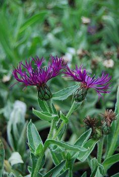 Centaurea montana (Bachelors Button)