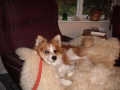 """Rescued a Dog from a Local Shelter.  Our American Eskimo/Corgi Mix """"PUFFIN"""""""