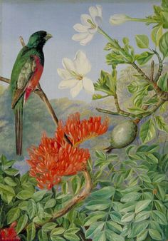 Marianne North - Two Flowering Shrubs of Natal and a Trogon