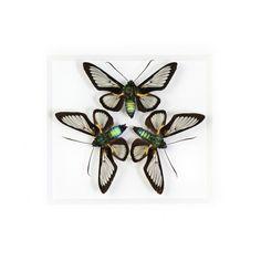 Glasswing Moths Black  by Christopher Marley