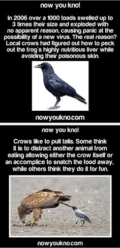 ๏̯͡๏﴿ Its a Fact <<<<<<<I've seen the second one quite a few times. Crows do that to our dogs and the stray goats and cows roaming the lanes around my house. But the first one is crazy...