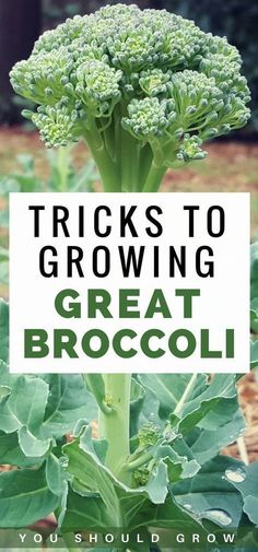 Gardening For Beginners: Growing broccoli but frustrated with bitter heads? Find… Gardening For Beginners: Growing broccoli but frustrated with bitter heads? Find out the tricks to growing great broccoli in your garden. Organic Gardening Tips Vegetable Garden Tips, Veg Garden, Fruit Garden, Edible Garden, Potager Garden, Gardening Vegetables, Easy Garden, Broccoli Plant, Growing Broccoli