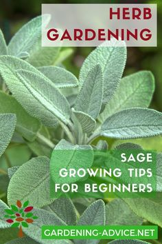 vegetable garden basics Everey serious herb gardener needs a Sage Plant! Growing Sage herb is not difficult: grow a bush in a container or in your garden and enjoy the delicious leaves! Growing Herbs, Growing Vegetables, Growing Gardens, Culture D'herbes, Sage Herb, Container Gardening, Herb Gardening, Indoor Gardening, Gardening Vegetables
