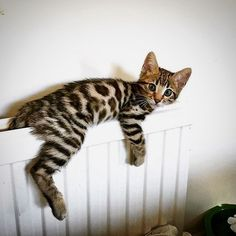 Throw back Tuesday! To when Alfie was deep in his fuzzy stage and hung out on radiators  @kittens_of_world @kittens.hub @cats_of_instagram Be sure to hit follow for awesome image and video! --------------------------------- Follow us: -@bengalcatloves --------------------------------- Douple tap and tag your #Bengalcat loving friends below! From: @bengal_alfie  Have an amazing day   !