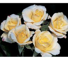 Rose Easy Elegance® Macy's Pride (shrub rose) Hardiness Zone: 4-7 S / 4-7 W Height: 5' Fragrance: Yes Exposure: Full Sun Blooms In: June-Sept