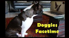 Dogs Interact with Each Other on Facetime Boston Terrier Love, Boston Terriers, Facetime, What Is Like, Best Dogs, Pugs, Dog Breeds, French Bulldog, Funny Pictures