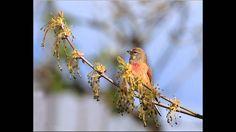 Пение Конопля́нка или Реполо́в (Carduelis cannabina)