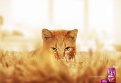 """This looks like a real picture. It may have been slightly photoshop. This is just an ad, a product picture, and text, but it works. The text at the bottom says """"For domestic predators."""" The color of the cat and the color and texture of the carpet makes it look like a lion in a safari. Simple, but effective ad. The hardest thing about this ad was probably getting the picture."""