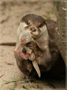 Proud Mama Otter showing off her baby.