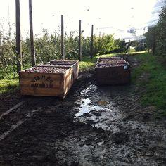 I think we have mud . 24hrs rain #staplesapples #mainridge #hope it dries up#morningtonpeninsula
