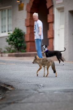 A man urges his leashed dog along as they are followed on the street by an urban coyote