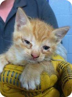 6/15/15 Can I be your purrr baby? Please come meet me.I would love a parent to love. Douglasville, GA - Domestic Shorthair. Meet Autumn, a kitten for adoption. http://www.adoptapet.com/pet/13048512-douglasville-georgia-kitten