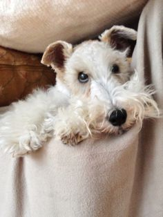 """a wire-haired  fox terrier to whom you just can't say """"no""""."""