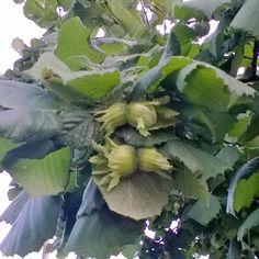 Dettaglio:arbusto di nocciolo,dono di mio zio Ezio