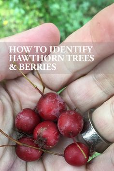 A plant guide on the hawthorn tree. Find out how to identify hawthorn trees and berries and learn when to harvest the haws (or berries) and how to use them in herbal medicine making. A great herb for the heart!