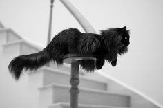 blackmainecoon - Google Search