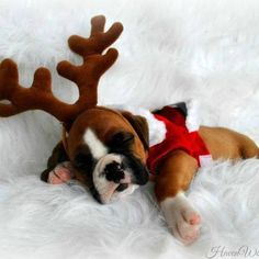 Boxer Baby Reindeer is sleepy