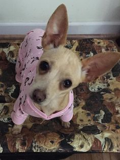 Holly is an adoptable Chihuahua searching for a forever family near Woodlawn, TN. Use Petfinder to find adoptable pets in your area.