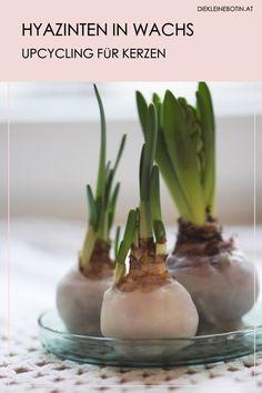 Kerzenstumpen und Wachsreste bitte nicht einfach wegwerfen: mit etwas Geduld entstehen zauberhafte Winter-Blumen! Hyazinten mit Wachs machen viel Freude, sie blühen im Winter, sehen wundervoll aus und sind perfekte, kleine Mitbringsel rund um Weihnachen und Silvester. Flora, Good Environment, Wedding Flowers, Ethnic Recipes, Plants, Advent, Inspiration, Green Ideas, Home Decor Kitchen