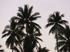 A Contrasty View of Silhouetted Palm Trees Reproduction photographique
