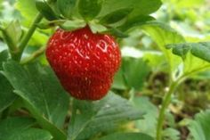Portola strawberry plants