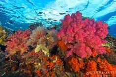 Boo West Soft Corals 2 by Cornforth Images, via Flickr