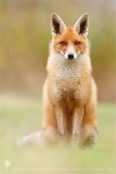 Photograph I Can't Stand the Rain - Red Fox by Roeselien Raimond on 500px