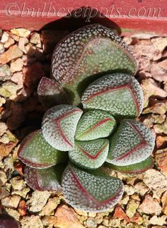 Crassula fragarioides -