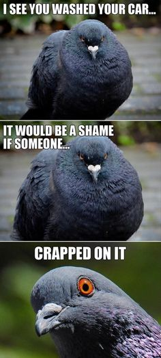 """Top 30 Funny animal Memes #Funnies #Humor --- """"I see you washed your car..it would be a shame if someone crapped on it"""" ---- said EVERY Raven that lives in our small community - I believe they work in shifts!!!!"""