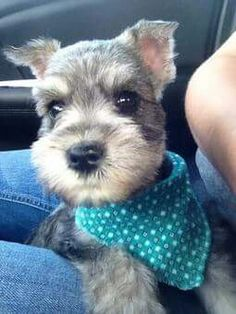 Schnauzer puppy with turquoise bandana.