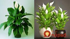 Zalejte umierajúce rastliny týmto rovno do črepníka a za pár dní ich nespoznáte: Je to rovnaké, ako keby dostali antibiotikum – opäť sú krásne! Aloe Vera, Life Hacks, Gardening, Flowers, Plants, Lawn And Garden, Plant, Royal Icing Flowers, Flower