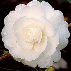 Camélia d'automne 'Early Pearly' - Plantes et Jardins