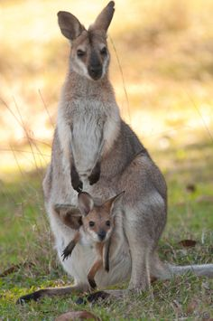 Wallaby Mum and Joey – Gaby Soumare - Baby Animals Nature Animals, Animals And Pets, Baby Animals, Funny Animals, Cute Animals, Strange Animals, Beautiful Creatures, Animals Beautiful, Australia Animals