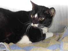 LITTLE EASE - ID#A0386721  This is an unaltered female, black and white Domestic Shorthair. My name is LITTLE EASE.  PRIOR TO ADOPTION ...